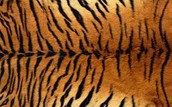 Most tigers have black and orange stripes.