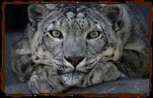 Snow leopards paws