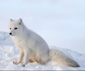 Description of Arctic Fox