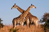 Job shadowed with the Giraffes