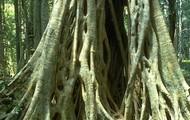 Strangling Fig Tree