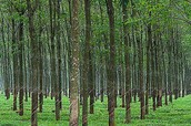 Rubber Tappers Want the Best For the Forest