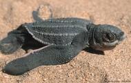 A Baby Leatherback Sea Turtle