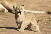 Baby Lion at the Zoo