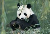 Panda se hrani.