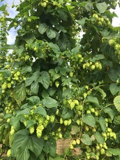 Ohio State offering Field Nights For Hops Growers