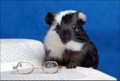 A guinea pig( cage pet )