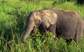 Elephants grass