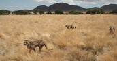 A Cheetah's Habitat: Where In The World Is It Found?