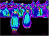 infrared images of penguins