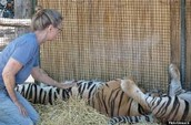 Tigers as pets