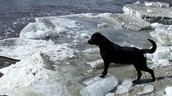 Tia the black lab who retrieved a boat