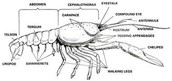 Exoskeleton of crayfish