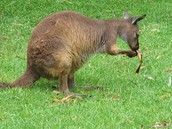 This is of a  baby kangaroo