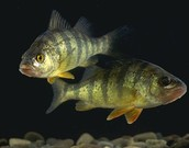 The Taxonomy of a Perch