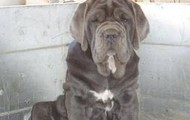#5 Neapolitan Mastiff