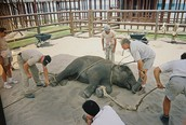 What happens to elephants at circuses