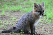 A Gray Fox Kit: