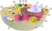 animal cell nucleus