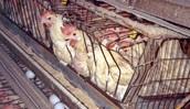 Egg hens