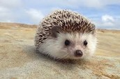 A Second Hedgehog
