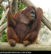 Orangutangs.