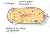 Estructura de les cèl·lules