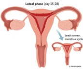 Luteal Phase and Menstrual Phase