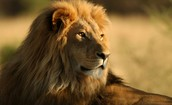 The lion is beautiful and cute