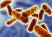 Bacilli Shaped Bacteria