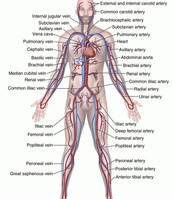 Body System in Heart Attack: Cardiovascular System