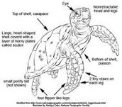 Sea Turtle's Body Parts