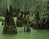 Wetland swamp