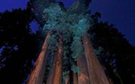 Sequoias at night