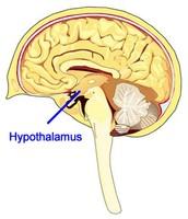 Hypothalumus