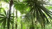 Amazon Palms