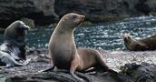 Juan Fernández Fur Seal