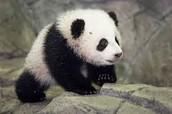 Pandas !