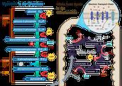 Diagram for cellular respiration
