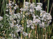 Panicle Aster