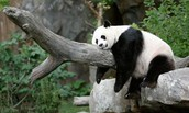Another Giant Panda
