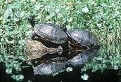 Water life. Snapping Turtles