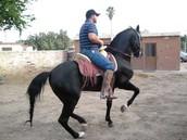 caballo  bailador