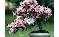 bonzia soft pink