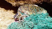 This poor Green sea turtle is dying because he coverd in garbage.