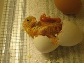 learn about incubation, candling, the hatch, and brooding baby chicks......