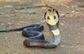 the  King cobra