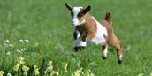 general goat