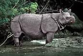 The Javan Rhino
