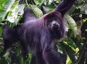 the Alouatta pigra (Mexican black howler monkey)